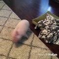 Ce petit cochon a un rythme d'enfer. Admirez !