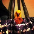Cette perruche a trouvé la cachette parfaite et ne veux pas être dérangée. Hilarant !