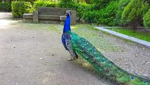 See the beautiful view of peacocks