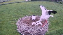Une maman cigogne jette son petit hors du nid... Selection naturelle