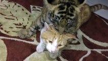Un bébé tigre et un chat jouent ensemble
