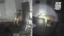 Home burglar turns out to be a deer