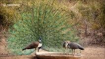'Twerking' peacock does dance to woo group of peahens