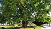 Ginkgo biloba - Jardin de la Place de la République , Strasbourg - Permakultur
