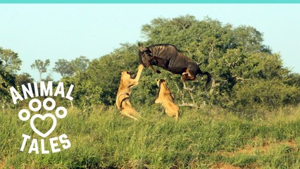 Leaping Wildebeest Kicks Lioness In Dramatic Escape