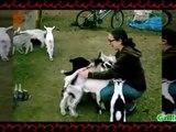 Cabras Locas Desmadrozas y Molestas - Cabras Y Ovejas Locas #6
