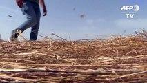 Farmers inspect damage after locust swarm decimates crops in Sardinia