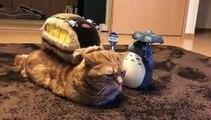 Ce chat aristocratique n'aime pas qu'on le dérange. Trop marrant !