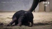 Naissance d'un bébé éléphant dans un zoo belge