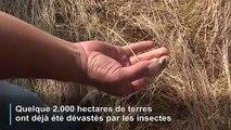 Sardaigne: une invasion de sauterelles inquiète les agriculteurs