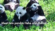 'Big step forward' as twin pandas grow up