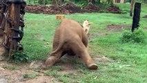 Un éléphanteau glisse en pourchassant un chien