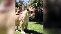 El tigre león más grande del mundo: es un ligre gigante