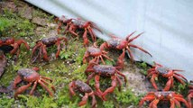 La migration des crabes rouges sur l'île Christmas