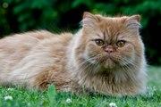 Top 10 des races de chats les plus mignons