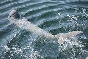 L'augmentation du nombre de dauphins d'Irrawaddy : une première en 20 ans !