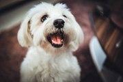 Le Bichon maltais : un chien élégant et attachant