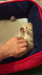 Hands up! Kitten has most adorable reaction to being tickled