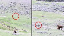 Predators Chase Bison And Newborn Calf
