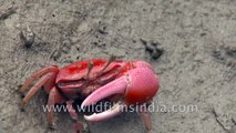 Red fiddler crab feeding on micro organisms in the largest halophytic mangrove forest in the world