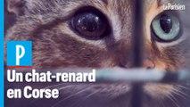Corse : sur les traces du mythique « chat-renard »