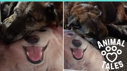 Dog Snuggles With Memory Pillow Of Dead Friend