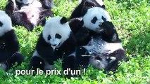 Deux pandas prometteurs pour la survie de l'espèce