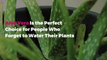Aloe Vera Is the Perfect Choice for People Who Forget to Water Their Plants