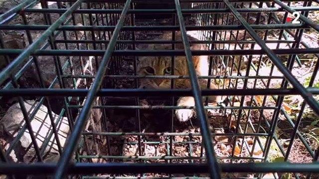 Le «chat-renard», est une nouvelle espèce de félin recensée et découverte en Corse.