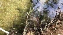 Besançon : accouplement des silures dans le Doubs