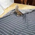 Bengal Kittens Messing with the Bedding