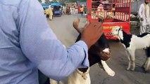 Bakra qurbani ka Bukhar nahe utar raha Dr Ashraf Sahibzada - video