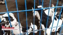 PURE - Barbari Goat - Barbari Goats for Sale in Lahore Bakra