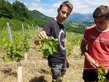 Apremont (Savoie) : la grêle a laissé des traces dans les vignes