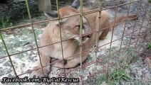 Shy Artemis Cougar visits with Keeper Marie Even though Ares, Artemis, and Orion are 13 years old,