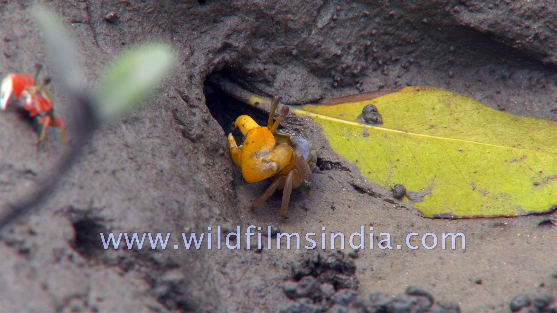 Mud Crab, Red and Blue Fiddler Crab feeding on micro organisms in the largest halophytic mangrove fo