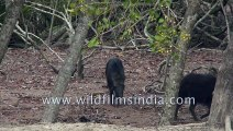 Wild Boars spotted at Sudhanyakhali Watch Tower, Sundarban , West Bengal, Inida  4k stock footage