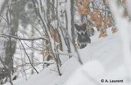 Le spécialiste alsacien du loup et du lynx, Alain Laurent, de l'Observatoire des Carnivores Sauvages, évoque la situation du loup dans le massif des Vosges et le Jura alsacien.