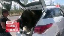 Il a fait rentrer un CHEVAL dans le coffre d'une voiture !