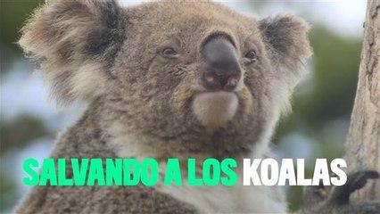 Los koalas están desapareciendo