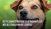 L'adorable regard que fait votre chien pour vous amadouer est le fruit de l'évolution