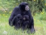 Découvrez l'Auvergne: Les Gibbons espèce menacée du Parc animalier d'Auvergne d'Ardes sur Couze (63)