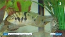 Science : un poisson en proie à des peines de cœur
