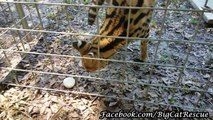 Hutch Serval gets a yummy sicle from Keeper Sue.