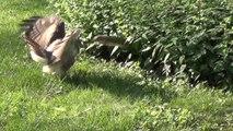 Un écureuil se défend férocement contre un aigle
