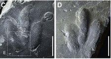 Halladas impresiones de piel de dinosaurio preservadas