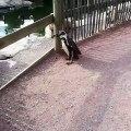 Ces pingouins rendent visite à leurs pairs dans le parc. Trop cute!!