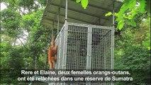Indonésie: des orangs-outans remis en liberté