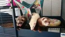 Ces bébés furets qui viennent de se réveiller sont trop mignons !!