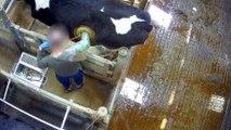 Vaches à hublot, poulets incapables de marcher... L214 dévoile de nouvelles images et porte plainte contre un laboratoire de recherche en nutrition animale